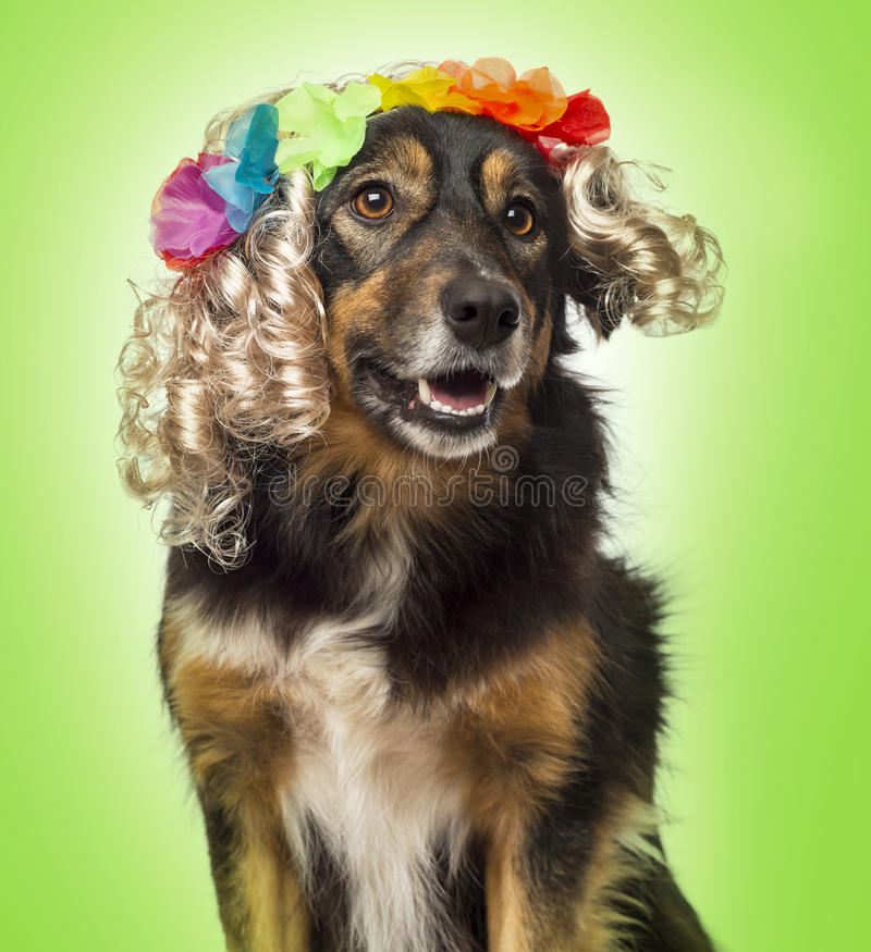 Primer de un border collie que lleva una peluca rizada rubia con las flores foto de archivo