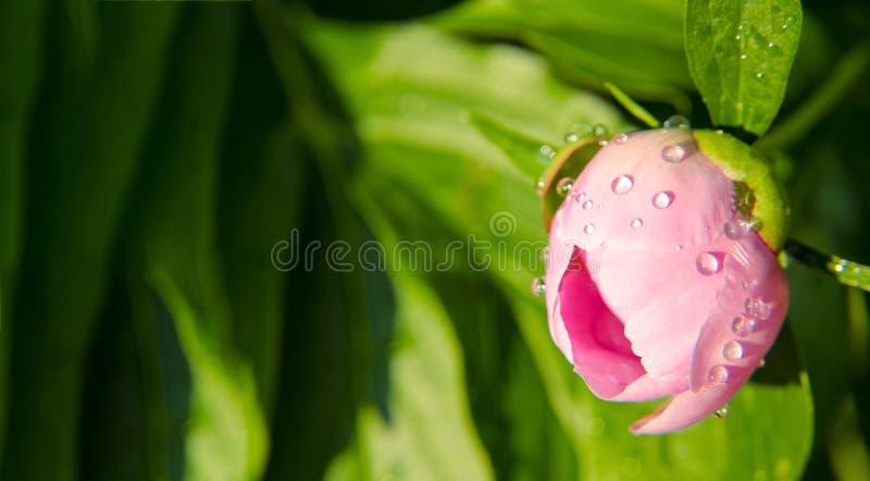 Primer de un brote de las flores de peonías rosadas Gotitas de agua en un brote de flor bandera fotos de archivo libres de regalías