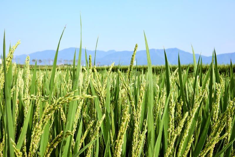 Primer de un campo verde del arroz que no es maduro todavía con una indirecta del rocío que cuelga en su extremo en Jechun, Corea fotografía de archivo