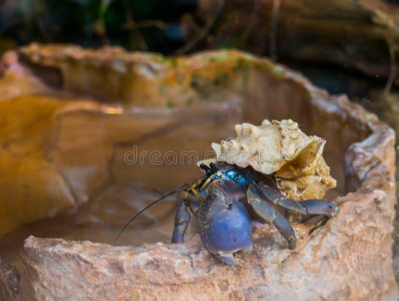 Primer de un cangrejo de tierra p?rpura del ermita?o, crust?ceo popular de Jap?n, cangrejo con una concha marina hermosa fotografía de archivo libre de regalías