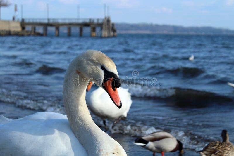 Primer de un cisne imagen de archivo