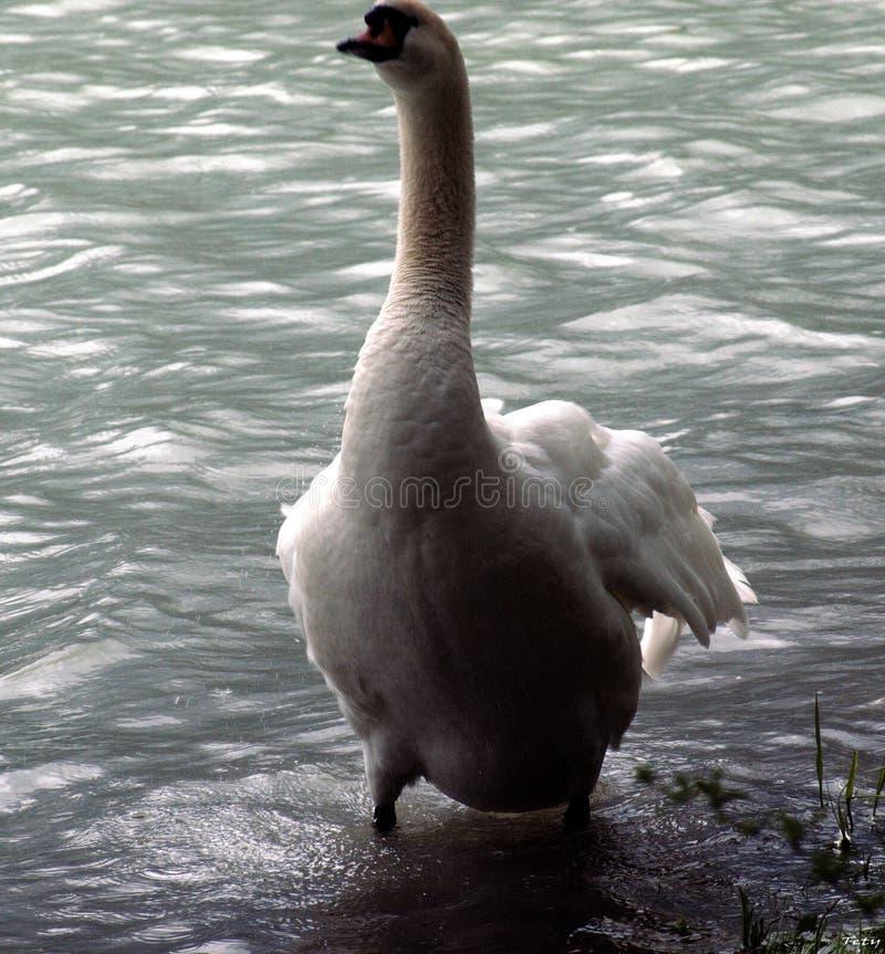 Primer de un cisne en la orilla imagenes de archivo