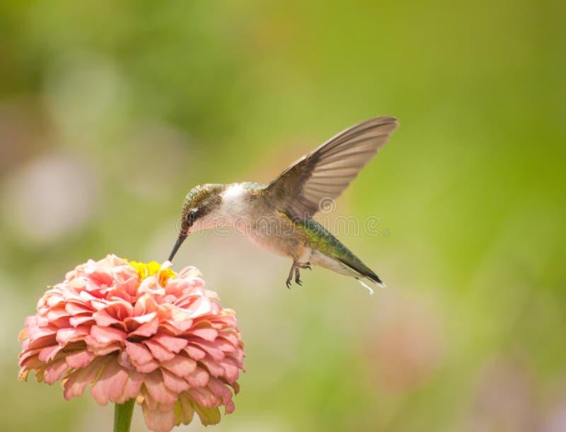 Primer de un colibrí hermoso fotos de archivo