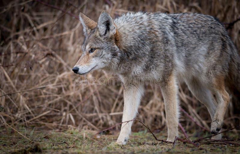 Primer de un coyote imagen de archivo libre de regalías
