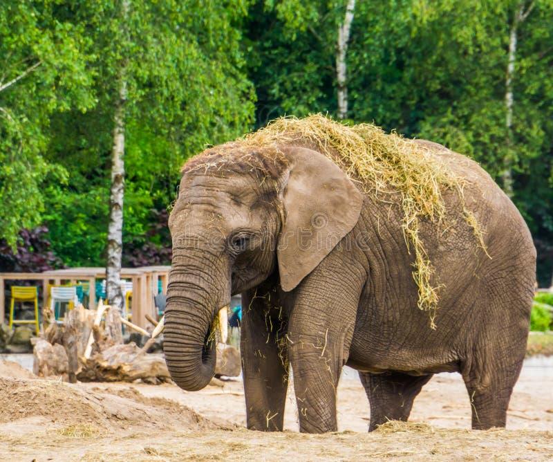 Primer de un elefante africano tusked que come y que juega con la hierba, especie animal vulnerable de África imagen de archivo libre de regalías