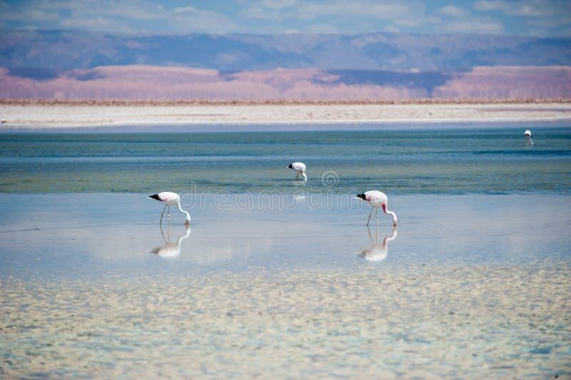Primer de un flamenco andino en el lago Chaxa cerca de San Pedro de Atacama, Chile Andinus andino de Phoenicoparrus del flamenco, imágenes de archivo libres de regalías