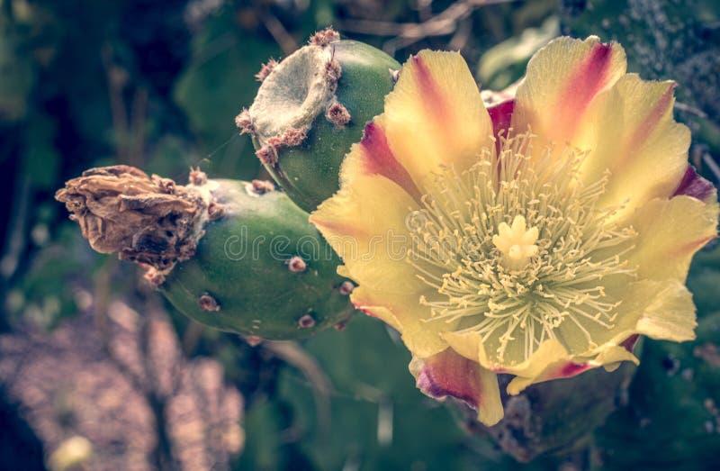 Primer de un flor fascinador del cactus fotos de archivo libres de regalías