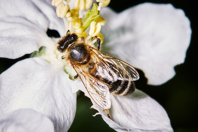Primer de un flor de polinización de la pera de la abeja fotografía de archivo