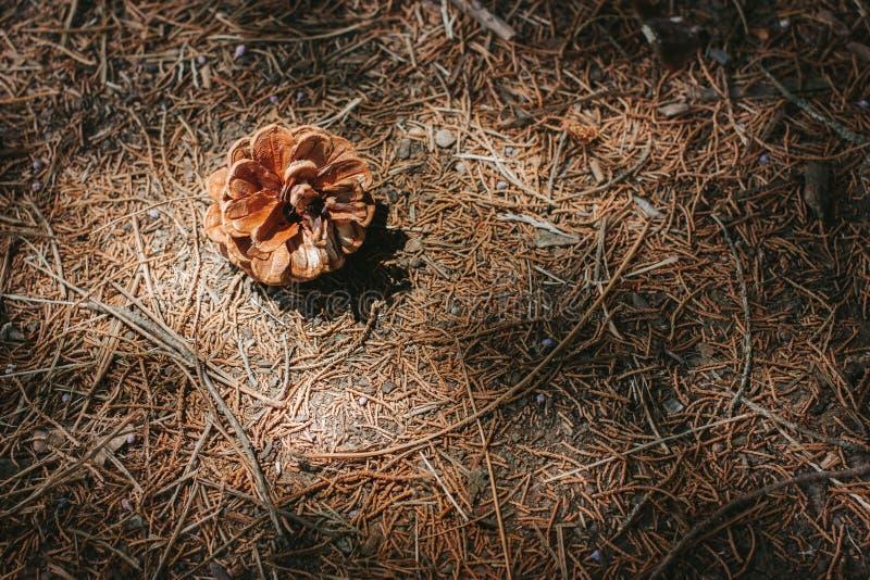 Primer de un fondo del otoño con el cono del pino fotografía de archivo libre de regalías