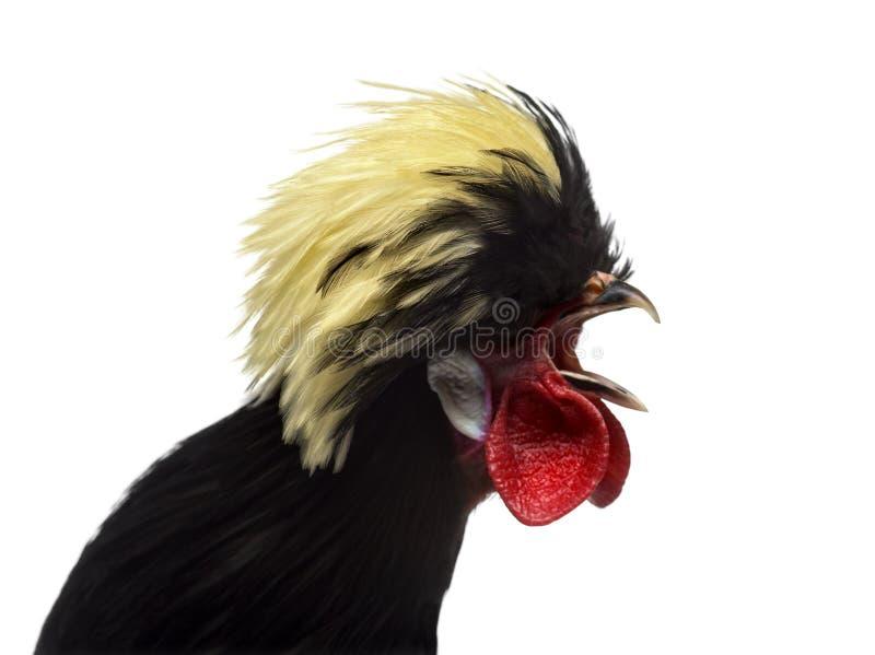 Primer de un gallo polaco que canta, backgroung blanco foto de archivo
