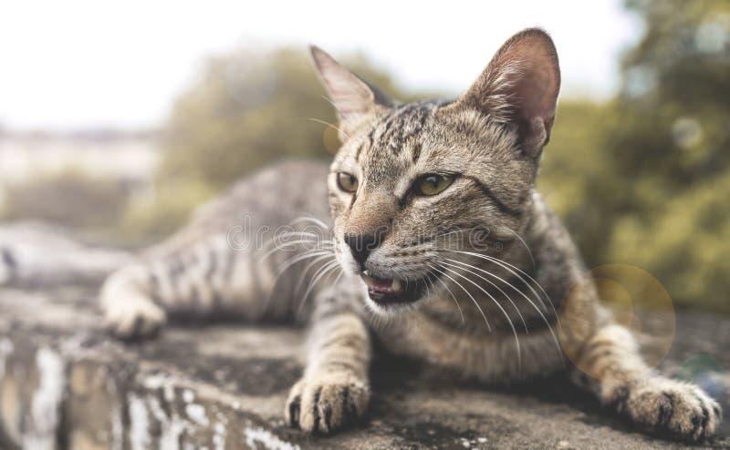 Primer de un gato meowing imagen de archivo