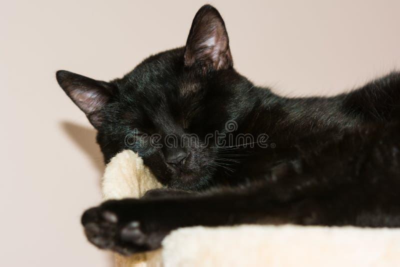 Primer de un gato negro el dormir europeo imagenes de archivo