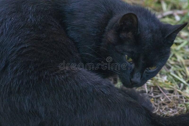 Primer de un gato negro, mirando la cámara, en la hierba fotografía de archivo