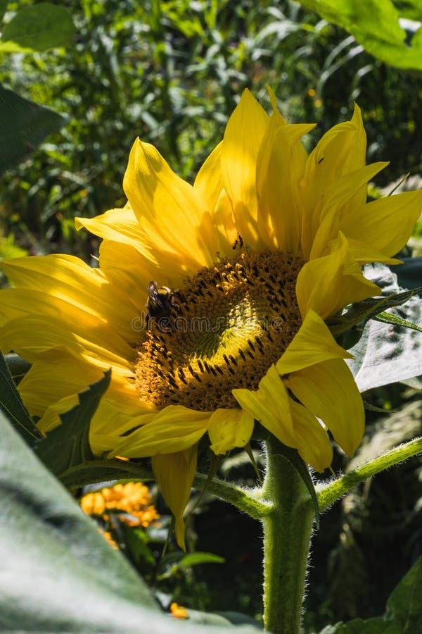 Primer de un girasol amarillo brillante en un jardín imagenes de archivo