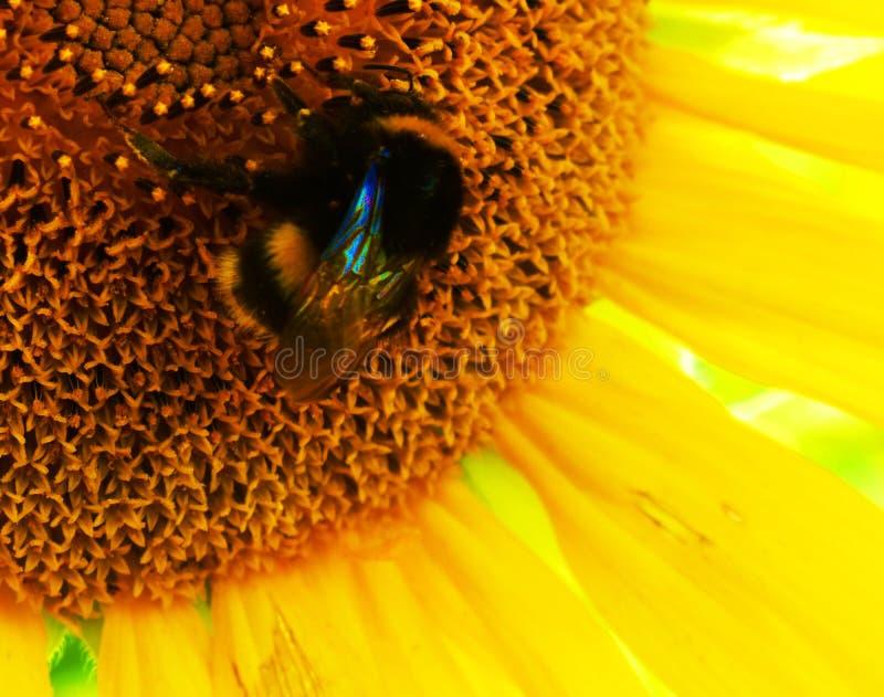Primer de un girasol amarillo con un abejorro en un día de verano soleado foto de archivo
