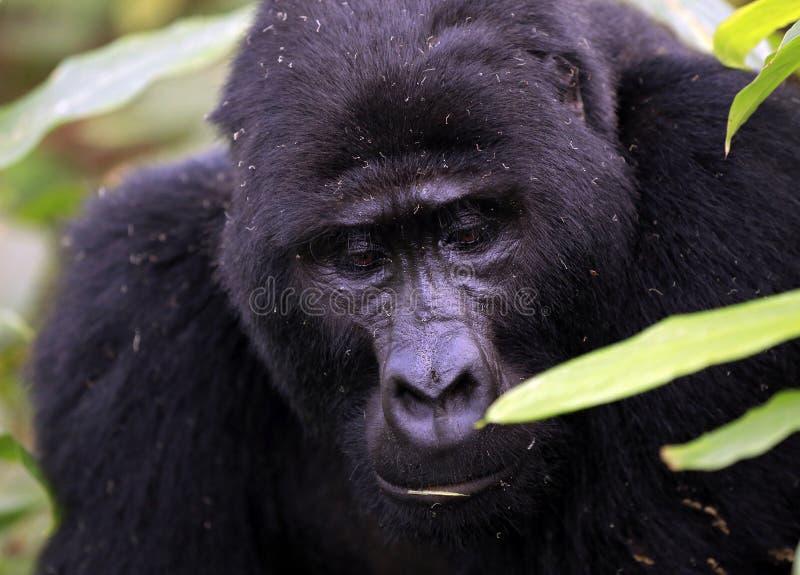 Primer de un gorila de montaña masculino fotografía de archivo