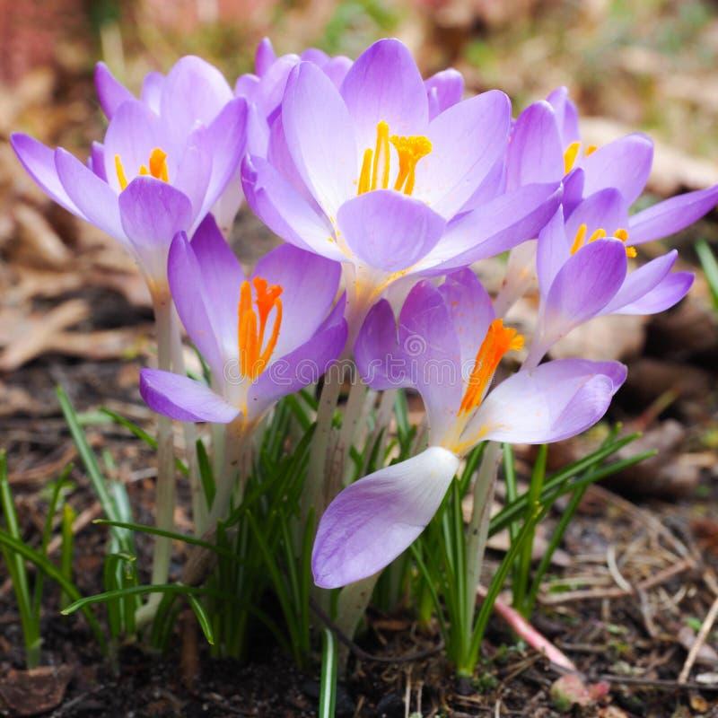Primer de un grupo de flores de la lila del azafrán como símbolo de la primavera imágenes de archivo libres de regalías
