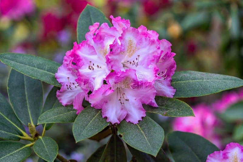 Primer de un grupo de flores del rosa y blancas del rododendro fotos de archivo libres de regalías