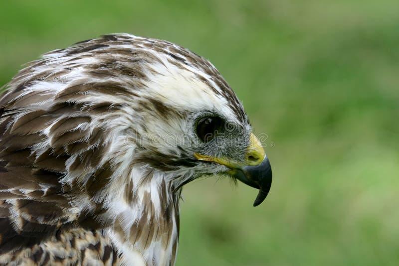 Primer de un halcón de Gyr-Saker fotografía de archivo