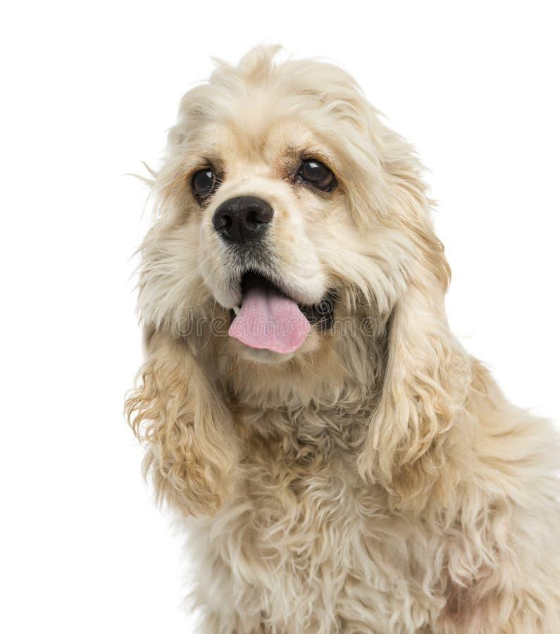 Primer de un jadeo del perrito de Cocker Spaniel del americano imágenes de archivo libres de regalías