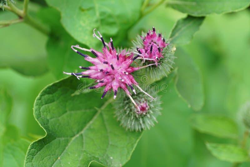 Primer de un lappa púrpura caucásico del Arctium de la bardana de la flor en t fotos de archivo libres de regalías