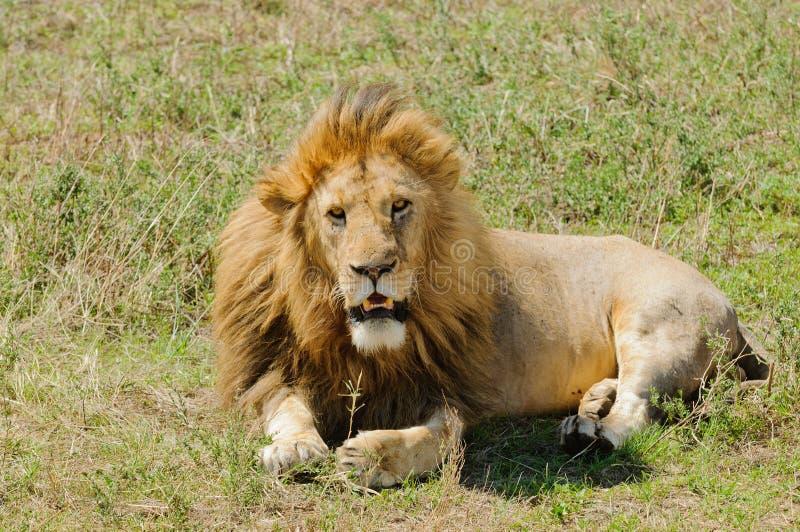 Primer de un león masculino imagen de archivo
