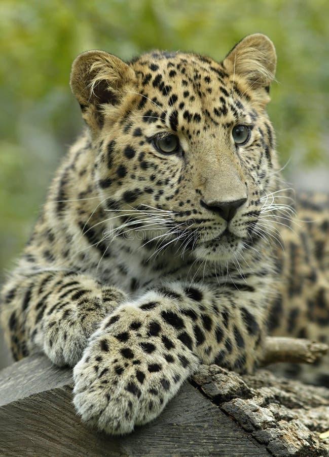 Primer de un leopardo foto de archivo libre de regalías