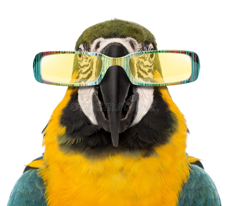 Primer de un Macaw Azul-y-amarillo, sungla que lleva del ararauna del Ara imagenes de archivo
