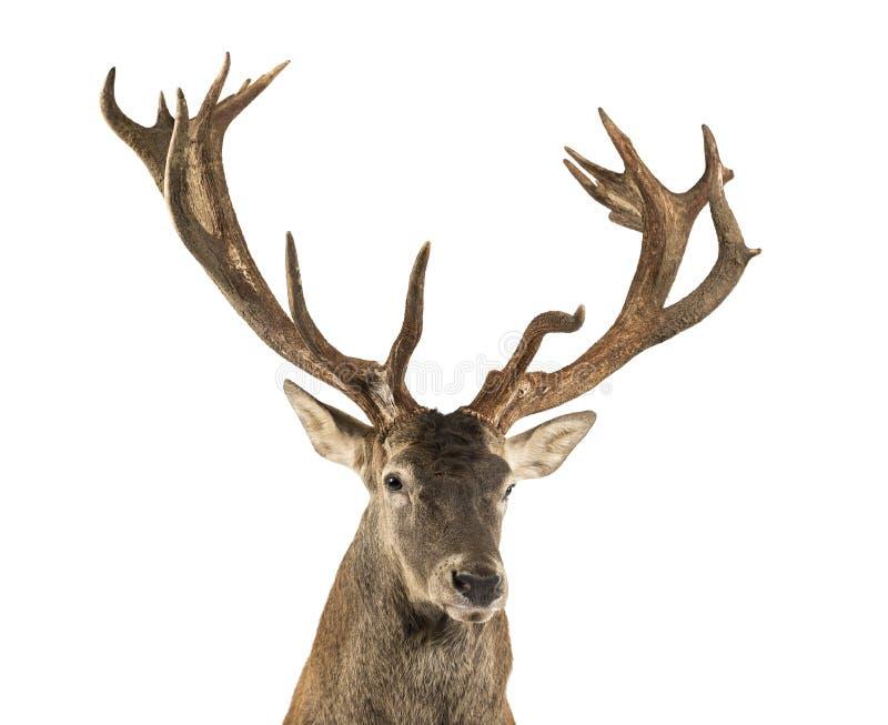 Primer de un macho de los ciervos comunes imagen de archivo libre de regalías
