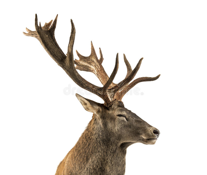 Primer de un macho de los ciervos comunes fotografía de archivo libre de regalías