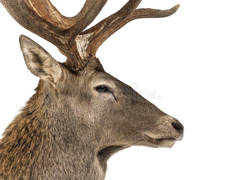 Primer de un macho de los ciervos comunes imágenes de archivo libres de regalías