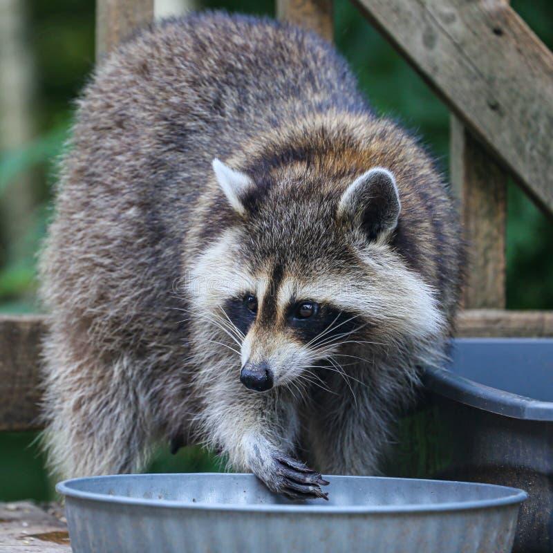Primer de un mapache que come un bocado fotografía de archivo libre de regalías