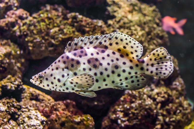Primer de un mero de la pantera, blanco con los pescados tropicales del observador de tiro negro, animal doméstico exótico del oc foto de archivo