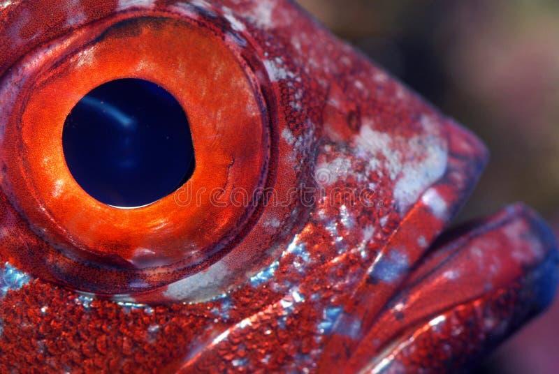 Primer de un ojo de pescados imagen de archivo libre de regalías