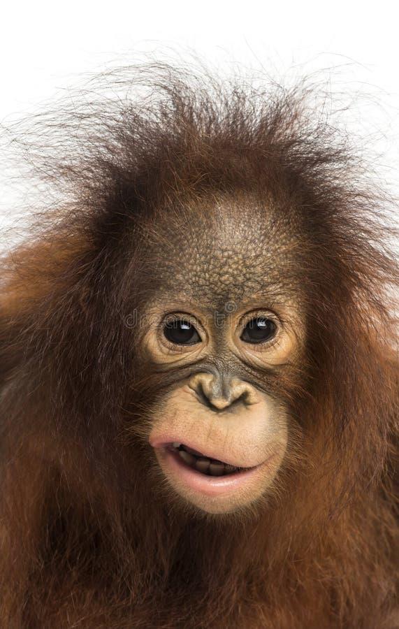 Primer de un orangután joven de Bornean que hace una cara fotografía de archivo libre de regalías