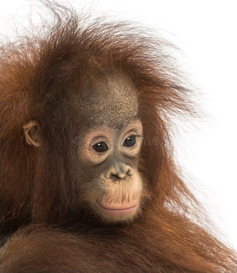 Primer de un orangután pensativo joven de Bornean, pygmaeus del Pongo fotografía de archivo