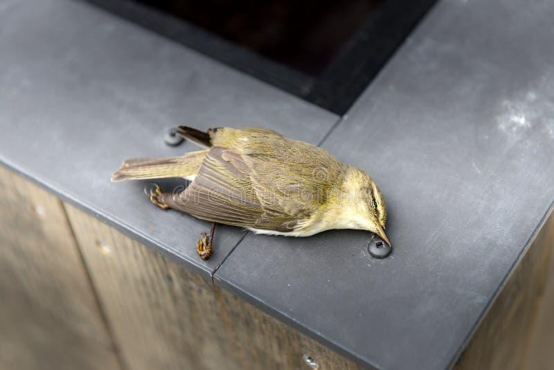 Primer de un pájaro amarillo difunto imagen de archivo libre de regalías