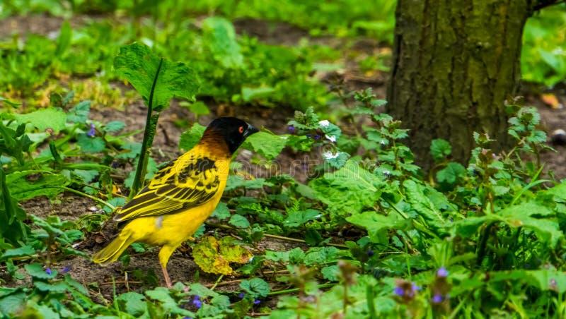 Primer de un pájaro de cabeza negra masculino del tejedor, especie tropical del pájaro de África, animal doméstico popular en avi fotografía de archivo libre de regalías