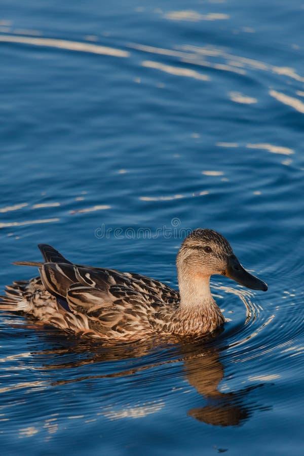 Primer de un pato femenino del pato silvestre en el agua foto de archivo libre de regalías