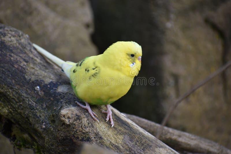Primer de un pequeño budgie amarillo que se sienta en una rama de árbol en un parque en Kassel, Alemania fotografía de archivo libre de regalías
