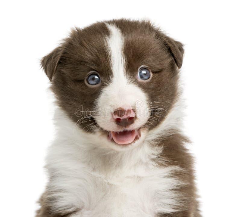 Primer de un perrito del border collie fotos de archivo
