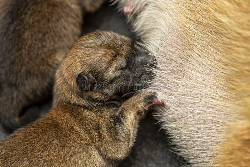 Primer de un perrito reci?n nacido de Shiba Inu Perro de Shiba Inu del japon?s Marr?n hermoso y mam? del color del perrito del in fotografía de archivo