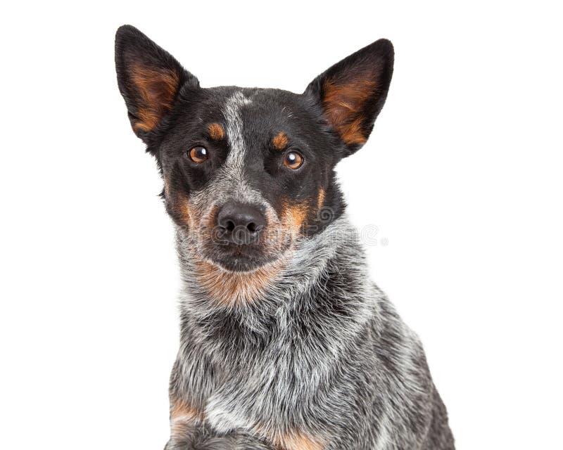 Primer de un perro australiano del ganado imagen de archivo