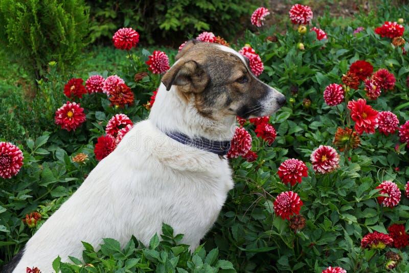 Primer de un perro blanco y marrón joven que se sienta en dalias rojas imagen de archivo