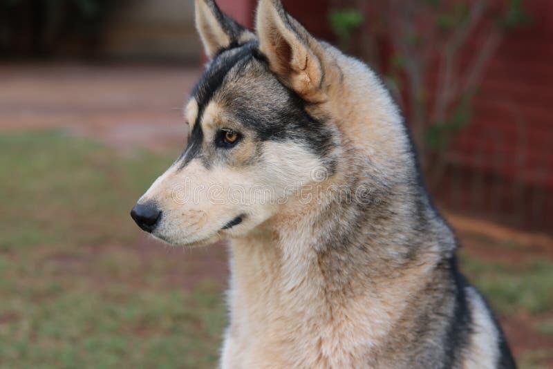 Primer de un perro esquimal imagen de archivo libre de regalías