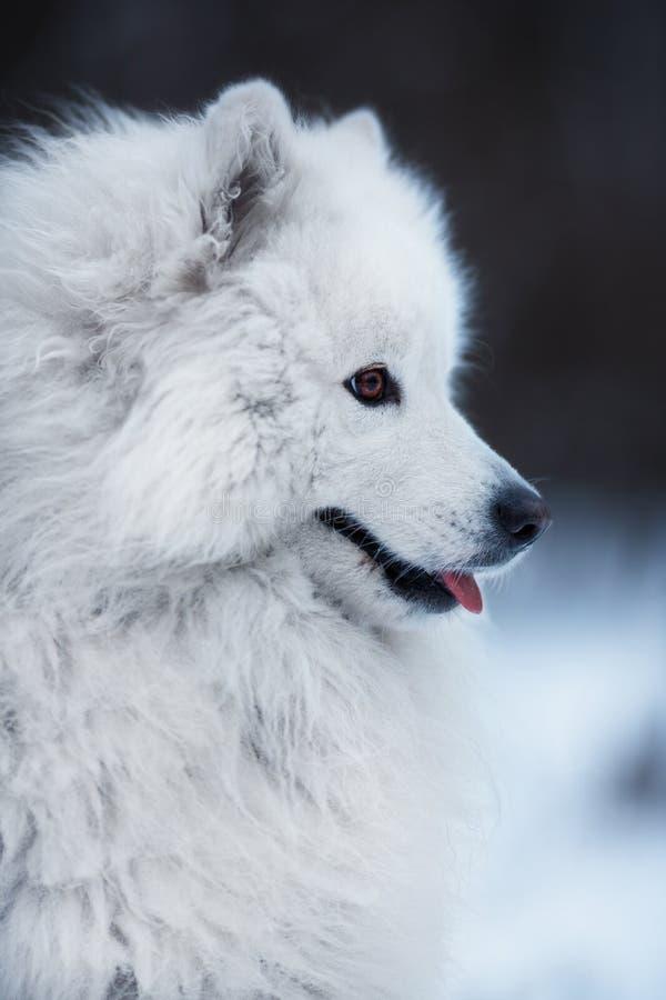 Primer de un perro mullido grande imagen de archivo