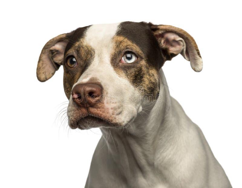 Primer de un perro pared-observado del híbrido que mira lejos, aislado foto de archivo libre de regalías