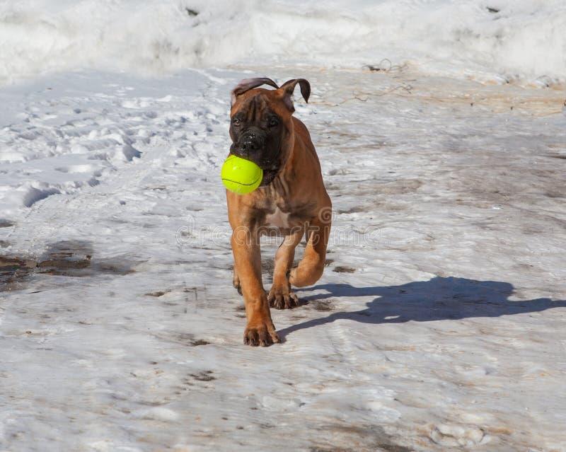 Primer de un retrato de un pequeño perrito con una bola, una raza rara de Boerboel surafricano, contra la nieve fotografía de archivo libre de regalías