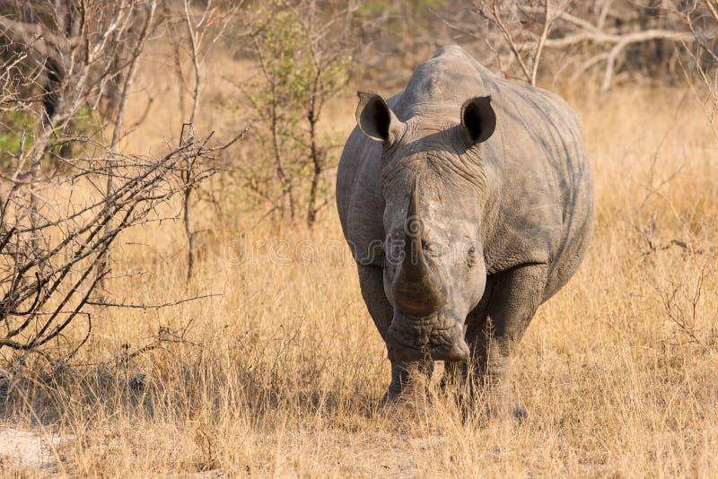 Primer de un rinoceronte blanco en el arbusto con una piel arrugada dura imagenes de archivo