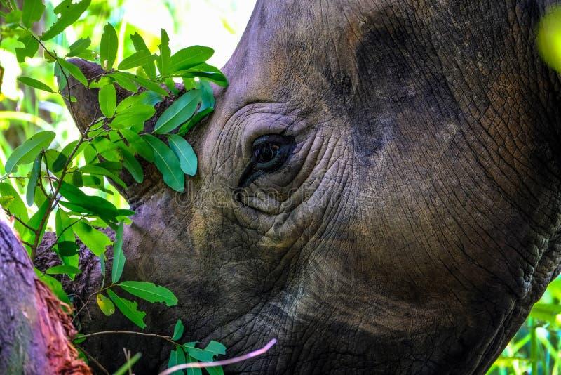 Primer de un rinoceronte cerca de un árbol con el fondo natural borroso imágenes de archivo libres de regalías